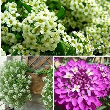 50pcs Mix Color Annual Groundcover Flower Garden Alyssum Seeds Oriental Night