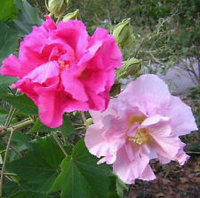 double confederate cotton rose pink Hibiscus mutabilis cuttings perennial plant