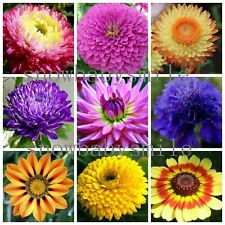 36Variety Compositae Flowers Seeds African Daisy Aster Blue Purple Chrysanthemum
