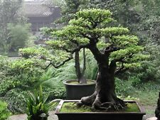 Bonsai Tree Asain Theme Home Decor Wall Art New Poster Art  PERSONALIZE FREE