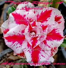 """ADENIUM OBESUM DESERT ROSE """" Triple Rouge A Levres """" 1 GRAFTED PLANT  FREE SHIP"""