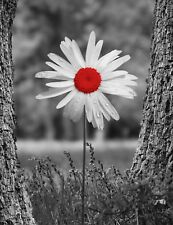 Black White Red Wall Decor, Red Daisy Print, Red Gray Home Decor Matted Picture