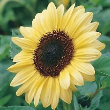 Sunflower Seed: Valentine Sunflower Seeds   Fresh Seed  FREE Shiping