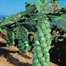 Brussel Sprout Seeds: Jade Cross Brussel Sprouts Seeds Fresh Seed  FREE SHIPPING