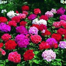 Flower Seed: Geranium Seeds Orbit Series  12 Seeds Choose Color Fresh Seed