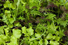 Lettuce Seed: Lettuce Mixture Seeds  Fresh Seed  FREE Shipping