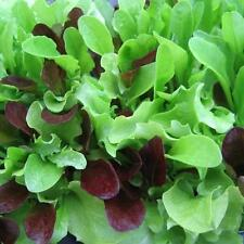 Lettuce Seed: Mesclun Mix Lettuce Seeds  Fresh Seed  FREE Shipping