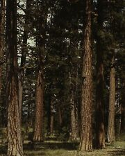 Ponderosa pine trees at Malheur National Forest in Oregon 1942 Photo Print