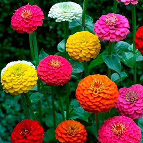 Zinnia California Giant Mix Seeds 100+ Flower COLORFUL BLOOMS USA FREE SHIPPING