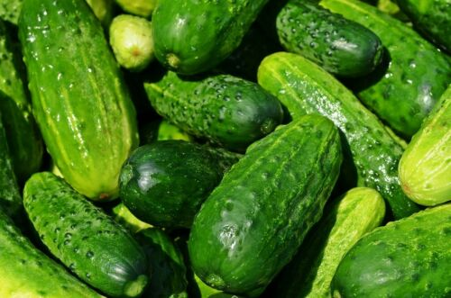 Cucumber, Spacemaster Cucumber Seeds, NON-GMO, Variety Sizes Sold, FREE SHIPPING