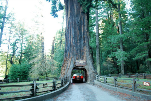 Marvelous Redwood Forest  In Willits, Mendocino County