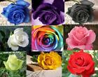 Rose Seeds - Black Blue Purple Yellow Green Red - RAINBOW ROSE SEEDS GIFT Happy