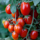 50 Seeds Super Sweet Red Grape Tomato Organic Tiny Tomatoes Small Cherry