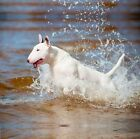 new bull terrier dog greeting card terriers mum dad birthday cards dogs design