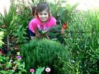 Rosemary Herb Seeds Buy Packet to Bulk 2 OZ Save FREE SHIP Cook Garden USA 148