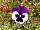 Pansy Mix Swiss Giants Seeds 50 thru  1/2 LB Colorful Rainbow Flower Blend #247