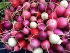 Radish Easter Rainbow Mix (250 thru 1/2 LB seeds) Easy Grow Heirloom!  #286