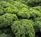 Kale Dwarf Blue Curled Scotch Seeds Sizes to 10LB Vates Garden or Microgreen 290
