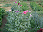 Organic Mix Poppy  Seeds (Papaver Somniferum) over 20 variety's 80,000