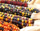 Indian Ornamental Corn ( 25 thru Bulk seeds ) Unique Colorful Fall Favorite! M4