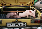 Art print POSTER Piglets in a Car Boot