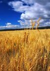 Art print POSTER Sunny Wheat Field