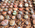 Lithops species mix 1050100 seeds succulent cactus living stones CombSH C71