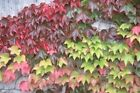 Parthenocissus Tricuspidata 3, 6, or 10 Boston Ivy Live Plants, Free Shipping!