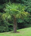 Windmill Palm, Trachycarpus Fortunei Two Seedling Trees, Hardy Palm