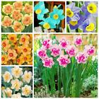 100 Pcs Narcissus Flower Daffodil Seeds Bonsai Plants Double Petals Absorption R