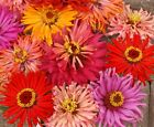 Zinnia Cactus Flowered Mix Seeds by Zellajake Easy Pink Purple Red Yellow 266C