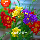 2018 Freesias Seeds Gorgeous Garden Colorful Fragrant Flower Plant Orchid 100pcs
