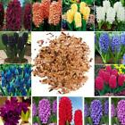 Home Gardening Ornamental Plants Mixed Color Hyacinth Flower Seeds O041