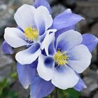 50 Colourful Columbine Seeds Aquilegia Seed Garden Flower Seed S075