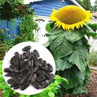 20-50Pcs Garden Balcony Beautiful Bonsai Plants Sunflower Seeds TOP