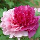 20 Varieties Rare China Peony Seeds Paeonia Suffruticosa Flower Tree TOP