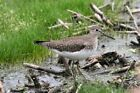 Solitary Sandpiper Photo - Various Sizes