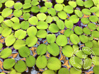 Kyпить Water Spangles,Salvinia minima,Live Aquarium/Aquatic/Floating Plant,Planted Tank на еВаy.соm
