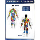 Productive Fitness Exercise Poster Series - Muscle Diagrams (Male & Female)