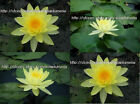 10 LIVE CHARLENE STRAWN WATER LILY PLANTS BULB+ Free Phyto Document