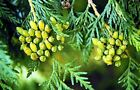"Eastern white cedar seeds-""The tree of Life""great for hedges! Buy 2 get 1 free"