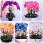 200 Pcs Phalaenopsis Orchids Phalaenopsis QUALITY Seeds Potted Flowers Indoor Ba cheap