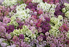 100 Alyssum seeds  Lobularia Maritima Paletta Mix   Annual Flower CombSH 2B14
