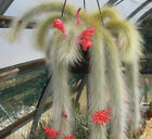 Cactus Cleistocactus  mix 10 ,50,100 seeds  Exotic succulents  Showy CombSH C54 cheap