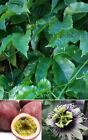 LIVE Purple Passion Fruit Plant 'Purple Possum' Flowering Vine Edible plants