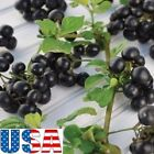 USA SELLER Huckleberry 25-100 seeds HEIRLOOM NON-GMO