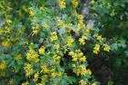 "Ribes Aureum ""Golden Current""  Choose 3, 6 or 10 Cold Hardy Native Shrubs!"
