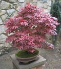 Внешний вид - Red Japanese Maple Tree Seeds - Acer palmatum Atropurpureum 10,25,50,100,1000+