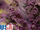 USA SELLER  Scarlet Kale 50-400 seeds HEIRLOOM NON GMO