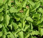 Lemon Balm Seeds Sizes to 1 LB FREE SHIP Aroma Mint Honey Bee Herb Flower 314